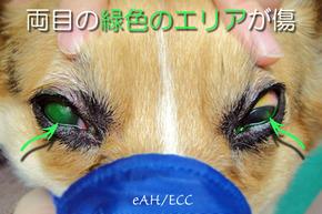 シャンプー時のトラブル: 角膜潰瘍(犬)
