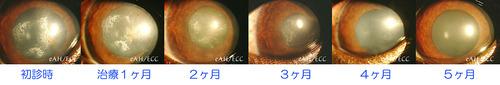 左目の角膜ジストロフィー(チワワ)の経過