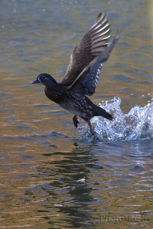 オシドリ♀の飛び立ち SD