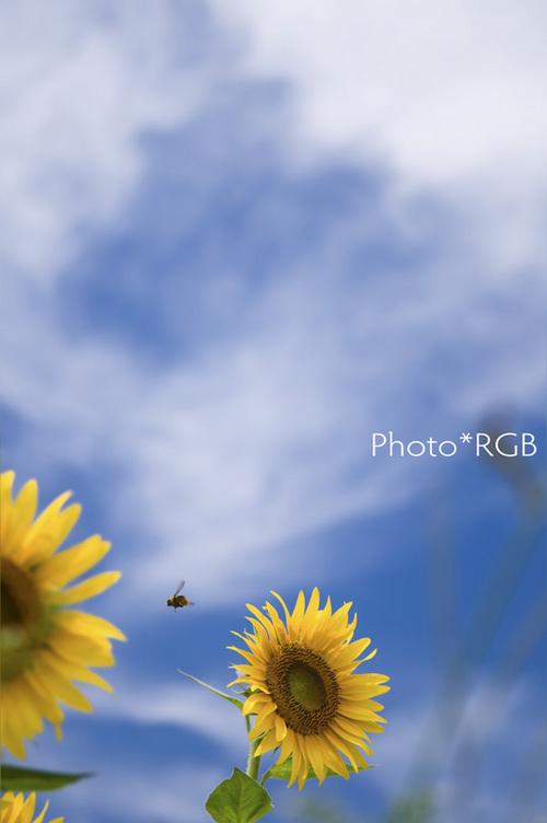 ヒマワリとハチ D300