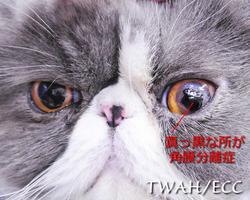 左目の角膜分離症 1年以上の経過 真っ黒の部分がミイラ変性した病変部
