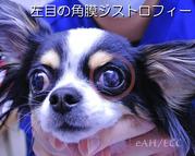 左目の角膜ジストロフィー(チワワ)