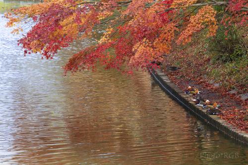 紅葉とオシドリ Svnd