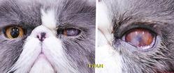 球結膜フラップ切除から24日目の左目所見 少しずつ角膜の表面がスムースになり、透明感は出ています。