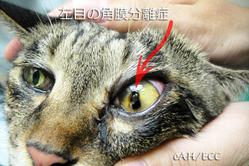 左目の角膜分離症(黒いエリア)