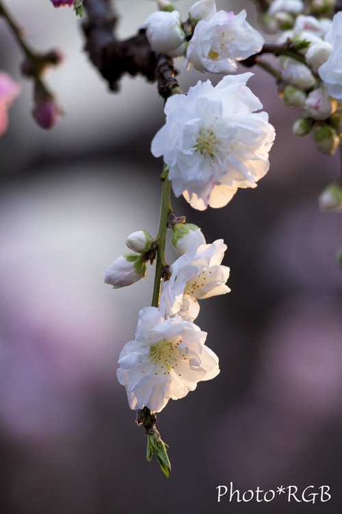 咲き始めたハナモモ 7D