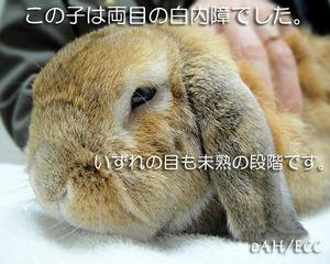 ウサギ(ラビット)の白内障(未熟段階)