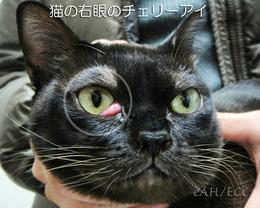 猫のチェリーアイ(右目)
