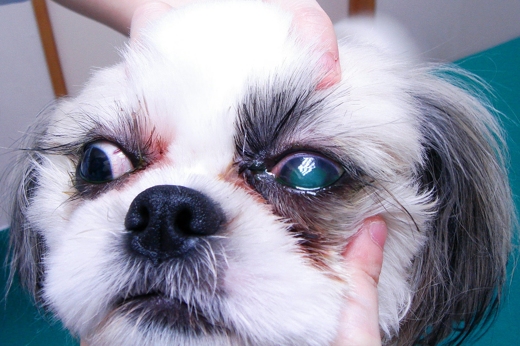 シャンプー後の角膜潰瘍