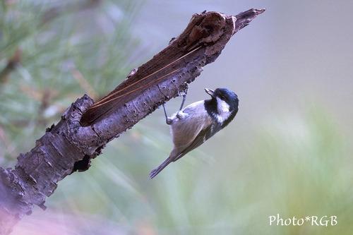 ヒガラ(日雀) こんなぶら下がり状態で採餌する姿をよく見かけます。