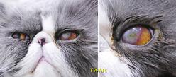 球結膜フラップ切除から8日目の左目所見 角膜の白濁感はまだ強く残っています。