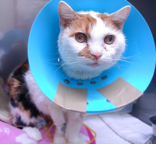 猫の症例  糖尿病 胃リンパ腫
