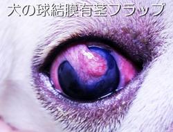 犬の球結膜有茎フラップ
