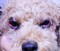 瞼(まぶた)の感染症 Blepharitis