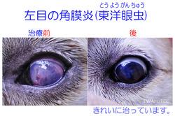 左目の角膜炎(東洋眼虫) 治療前後の比較