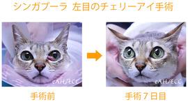 シンガプーラ(猫)のチェリーアイ手術