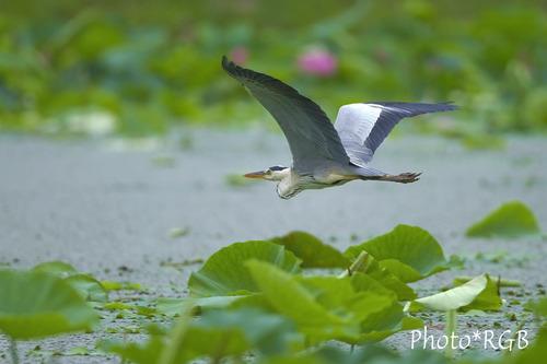 蓮池を飛ぶアオサギ 7D