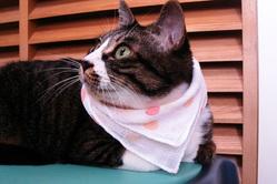 ハンカチを首に巻く猫