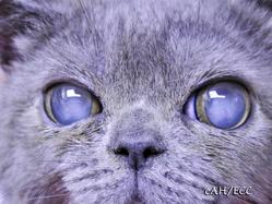 子猫(ブリティッシュショートヘア)の白内障