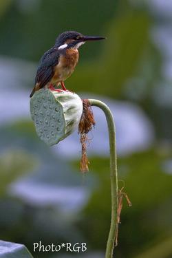 蓮の花托に留まるカワセミ 7D