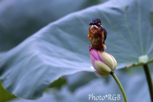 蓮池のカワセミ 7D