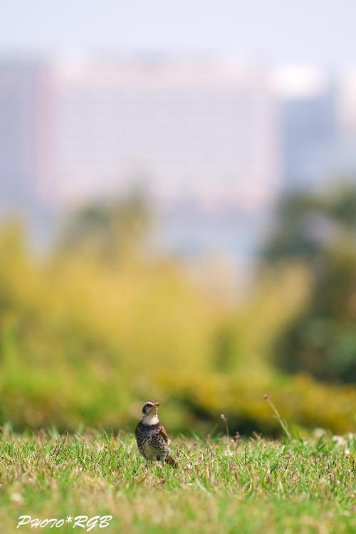 都市公園でのツグミ 少しづつ春めいてきました。 nd2xs