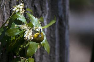 アセビの花にメジロ d3h 嘴(くちばし)を花の中に突っ込んでいます。