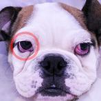 術後11日目の所見 右目のチェリーアイはきれいに矯正できています。