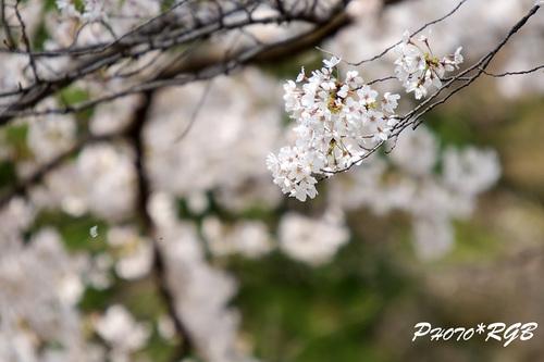 桜 D2Xs