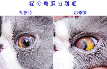 エキゾチックロングヘアの角膜分離症 初診時と治療後
