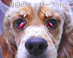 両目のチェリーアイ 手術前