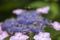 ハチとアジサイ D300