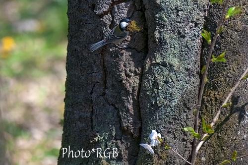 巣材を運ぶシジュウカラ D300