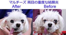 マルチーズ 女の子 両目の重度結膜炎 After&Before