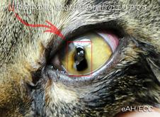 拡大した左目の角膜分離症(黒いエリア)