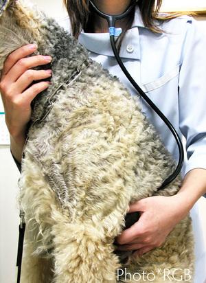 犬の聴診: ペット診療のプロフェッショナルとしてのイメージ