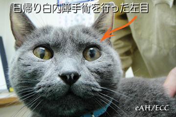 猫の日帰り白内障手術