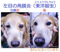 左目の角膜炎(東洋眼虫) 治療前と治療後の顔写真