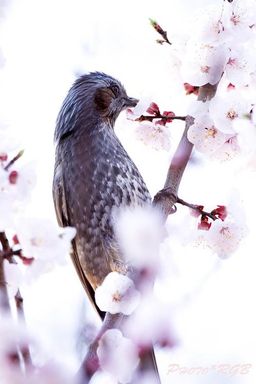 早朝の梅 やってきのはヒヨドリ 1D�