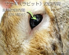 ウサギ(ラビット)の白内障