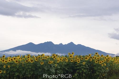 ヒマワリ畑と八ヶ岳 D2Xs