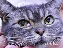 シニア猫のチェリーアイ手術 手術前