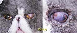 球結膜フラップ手術から28日目、フラップ切除の日の所見 左目のフラップはまだ付いています。