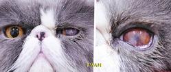 球結膜フラップ切除から24日目の左目