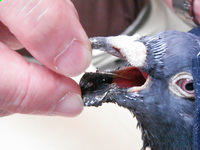 鳩のアーノルド  4392