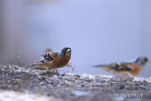 アトリ(獦子鳥、花鶏) 石粒を蹴り飛ばして餌に一直線 目線での撮影 鳥の意気込みを感じます。