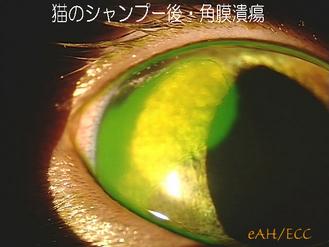 猫のシャンプー後・角膜潰瘍 0047*2300