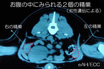 お腹の中に見られる2個の精巣 0049*9100 KMa-ti