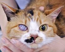 子猫の右目の異常(初診から1年目)。右目では瞬膜の一部露出、角膜の混濁や凹凸は見られています。
