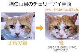 猫 両目のチェリーアイ手術